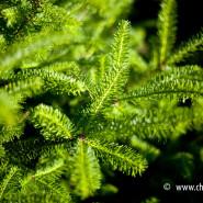 Jodła balsamiczna (Abies balsamea)