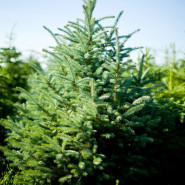 Świerk kłujący (Picea pungens)